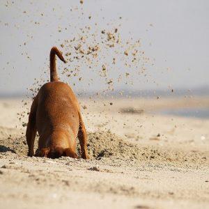 dog-digging-sand